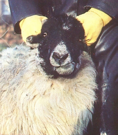 An unfortunate sheep displaying the classic symptoms of Fibrosarcoma. As the growth of the swelling proceeds, eventually the afflicted sheep will no longer be able to feed and would then starve to death unless humanely put down